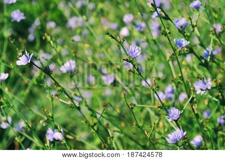 Blue chicory flowers in summer sunny day
