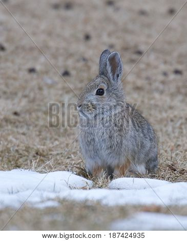 Mountain Cottontail on white snow and grass