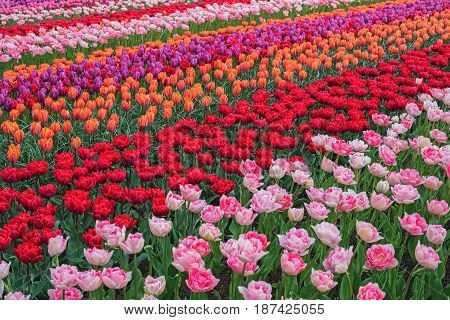 Colorful tulips in spring Keukenhof Netherlands Europe. Blooming tulip Keukenhof garden. Beautiful multicolored landscape. Flower field with dutch tulips. Scenery of tulip farm in North Holland