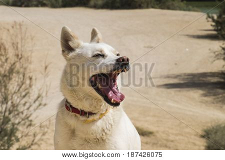 The white dog opened its mouth wide