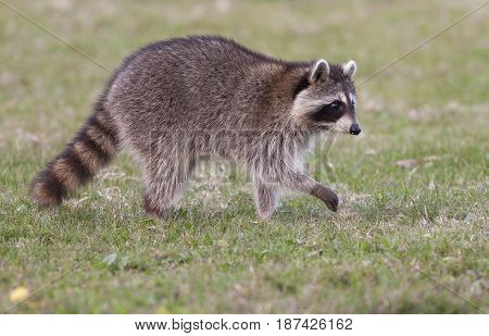 Raccoon Walking On Green Grass In Middle Of Field In County Park In Florida