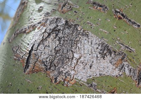 A closeup of a Mesquite tree trunk