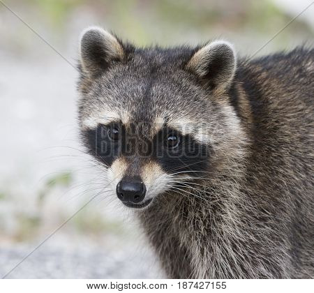 Raccoon portrait with green grass and grey background