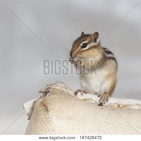 Siberian Chipmunk On Grain Bag Eating Wheat