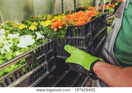 Gardening Business Concept. Flowers Cultivation and Selling. Worker Moving Plastic Creates Inside the Greenhouse.