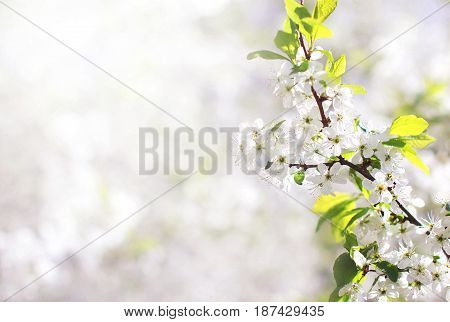 Nature Background Of Spring Floral White Flowers Branch Blossom Apple