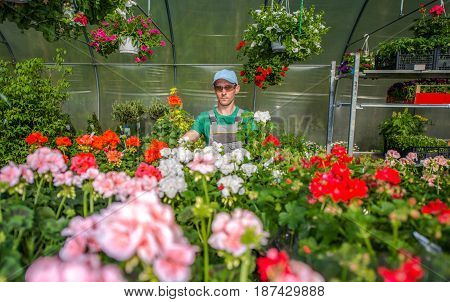 Growing Greenhouse Flowers. Flowers Cultivation. Gardener in His Greenhouse Full of Plants.