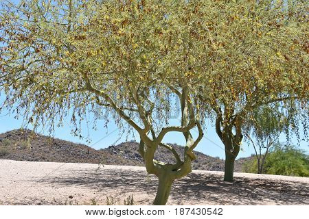 Mesquite trees in a desert landscape, with a mountain background