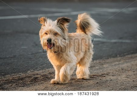 Funny Red Small Size Mixed Breed Dog Walking Outdoor On Road At Summer Evening