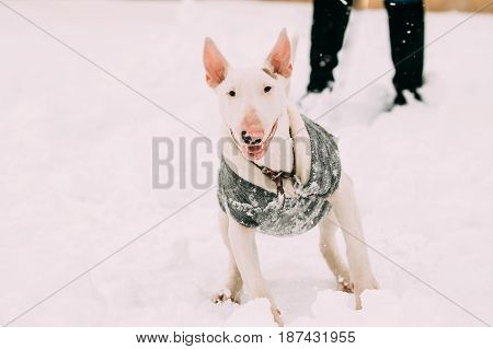 Funny Young English Bull Terrier Bullterrier Puppy Dog Playing Outdoor In Snow, Winter Season. Playful Pet Outdoors.