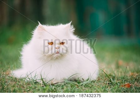 Cute Funny White Persian Cat Kitten With Yellow Eyes Resting In Green Grass Outdoor At Summer Evening.