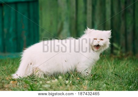 Cute Funny White Persian Cat Kitten With Yellow Eyes Yawning In Green Grass Outdoor At Summer Evening.
