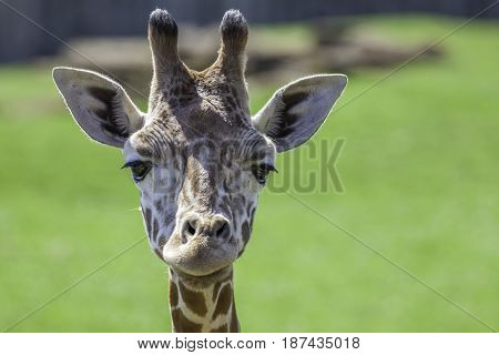 Young baby giraffe looking at camera. Head shot with focus on the eyes. Natural blurred background copy space. Cute animal.