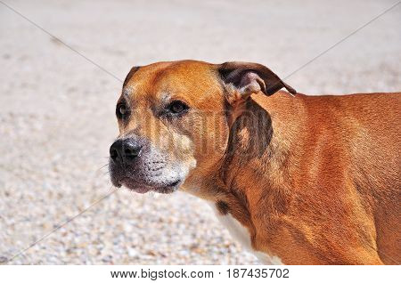 Portrait of a red American pit bull terrier looking away