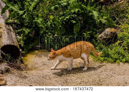 Orange and white cat walking on concrete with green foliage in the background