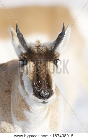 Male Pronghorn portrait with snow background with horns