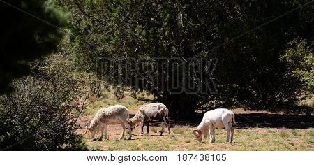 Dall rams mountain sheep feeding in mountain meadow.