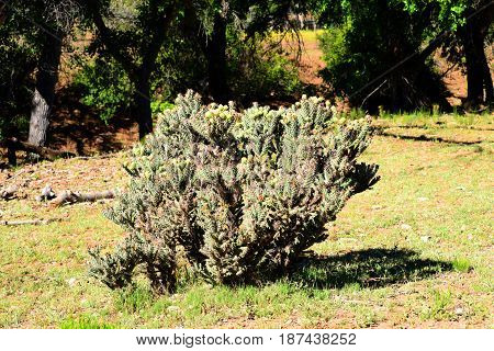 Buckhorn Cholla in the northern mountains of Arizona