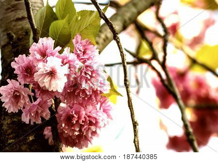 Cherry flowers, nature background. Vintage style toned. blossom in the springtime.