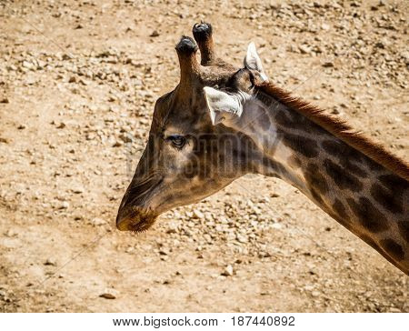 JERUSALEM, ISRAEL - JANUARY 23: Giraffe head, close-up in Biblical Zoo in Jerusalem, Israel on January 23, 2017