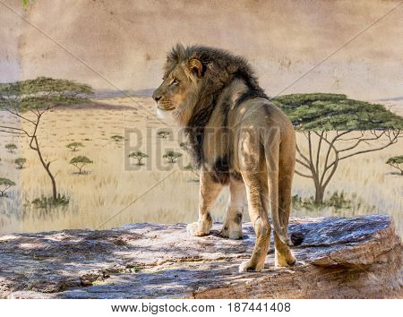 Large male lion standing looking away in a zoo