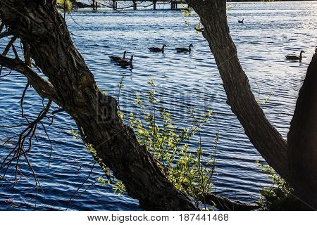 Trees and ducks silhouette against bright sunlight on Lake Maguerite in Helmetta New Jersey.