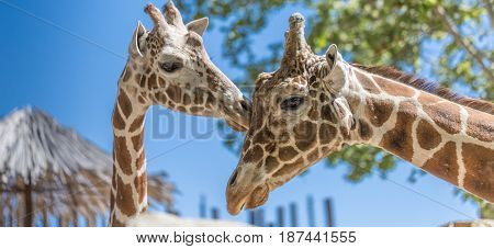 Two Giraffes Clsoseup In The Zoo