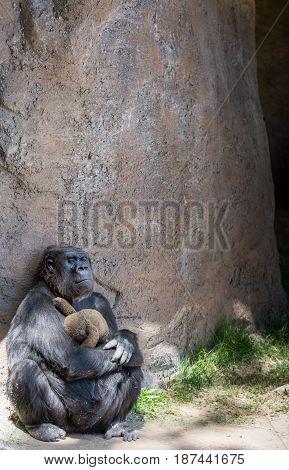 Sad, depressed female mother gorilla holding a toy