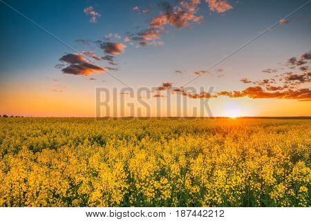 Sun Shining At Sunset Sunrise Over Horizon Of Spring Flowering Canola, Rapeseed, Oilseed Field Meadow Grass. Blossom Of Canola Yellow Flowers Under Dramatic Dawn Sky. Beautiful Rural Spring Landscape