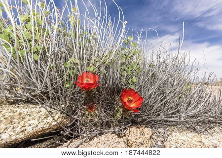 Two cactus blooms framed by blue sky in Joshua Tree National Park after weeks of rainfall.
