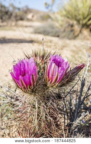 A beautiful cactus flower blooming at Joshua Tree National Park after weeks of rainfall.
