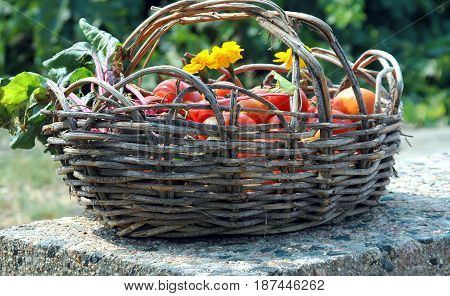 Organic veggies in a basket picked fresh from t he garden outdoors.