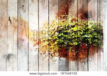 Texture of overlay Ornamental plants in pots of dried coconut rim with morning sun on old wood background