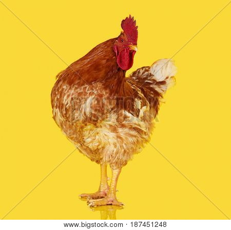 Brown rooster on yellow background, live chicken, one closeup farm animal
