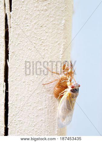 Cicada Seventeen Year - Newly Molted