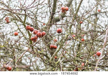 Last year small red apples hang on a tree