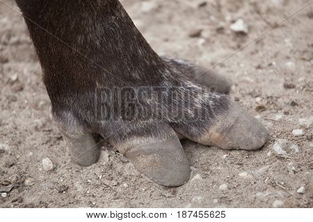 Hoof of the South American tapir (Tapirus terrestris), also known as the Brazilian tapir.