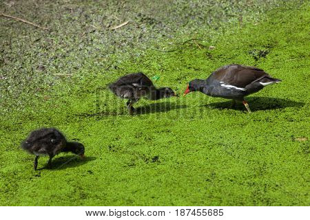Common moorhen (Gallinula chloropus), also known as the Eurasian moorhen.
