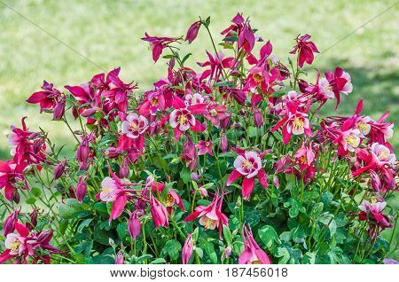 Pink and White Columbine blossoms and buds with contrasting green leaves
