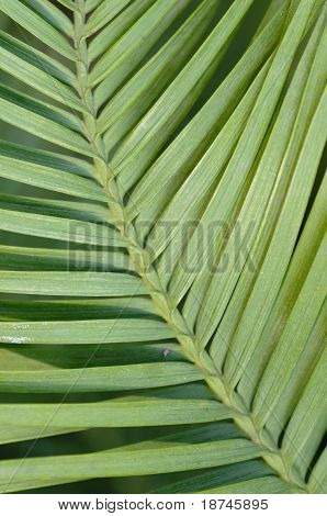 Wollemi pine tree leaf detail Wollemia nobilis from Australia poster