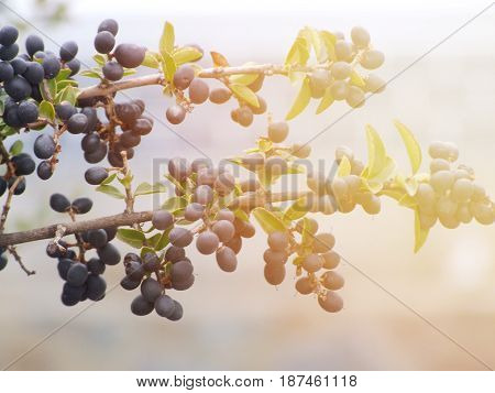 Season nature or agricultural food background concept : Branch of olive tree with fruits and leaves in autumn