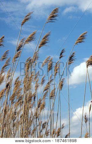 The dry reeds and clouds on a lake.
