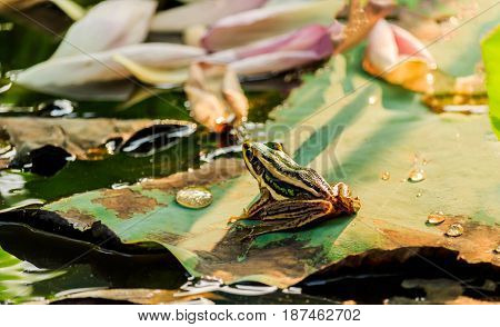 Green frog sitting on lotus leaf in a pond at sunset
