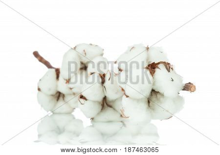 Photo of a cotton twig on white background