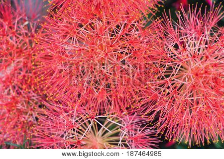 Red Blood lily flowers. Pink powder puff lily selective focus Scientific Name is Haemanthus Multiflorus or Scadoxus puniceus
