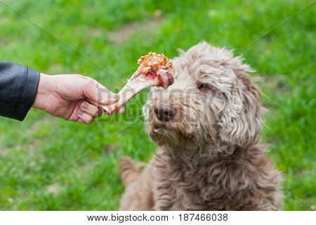 Picture of a human hand holding a tasty big bone and an old dog waiting for his lunch