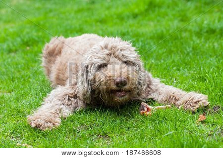 Picture of an old domesticated dog eating a tasty bone outdoor in the grass