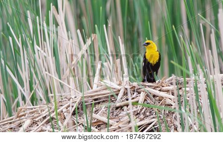 A Yellow Headed Blackbird overlooks his territory in the wetland.