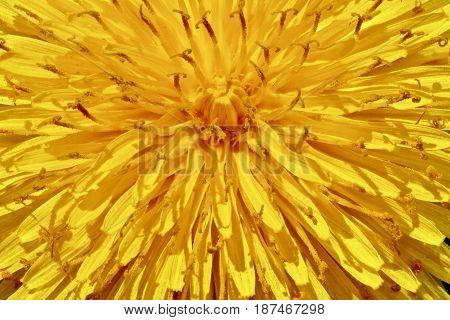 A macro closeup of a dandelion displays as a sunburst.