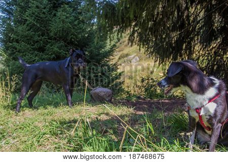 Two Black Dogs In The Mountains, Almaty, Kazakhstan. Cane Corso Italiano And White And Black Dog